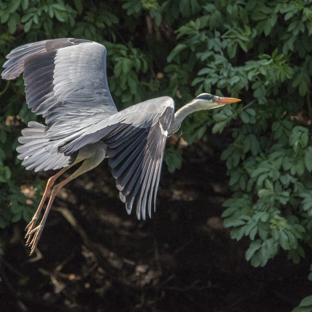 """Grey Heron in Flight Mode"" stock image"
