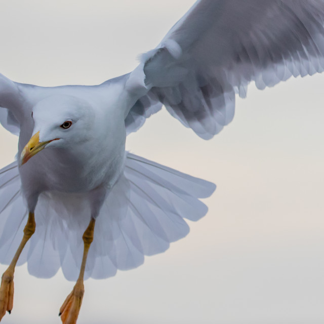 """Yellow-legged gull"" stock image"