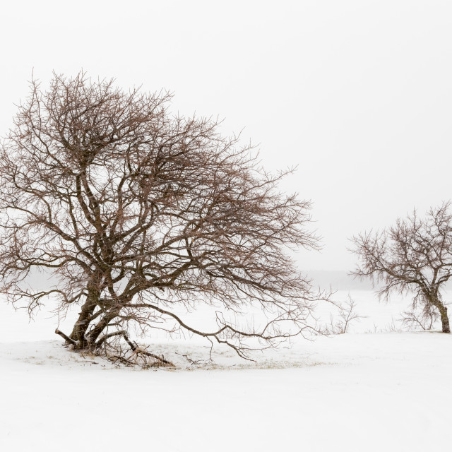 """""""Two trees in snowfall"""" stock image"""