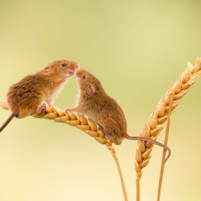 """Kissing Harvest Mice"" stock image"