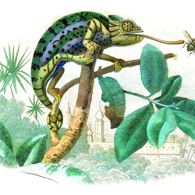 """Chameleon, vintage engraving."" stock image"