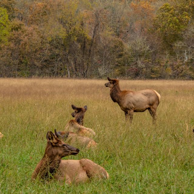 """""""Oconaluftee Elk Herd"""" stock image"""