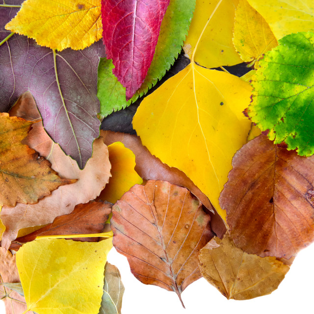 """colorful leaves of differents trees"" stock image"