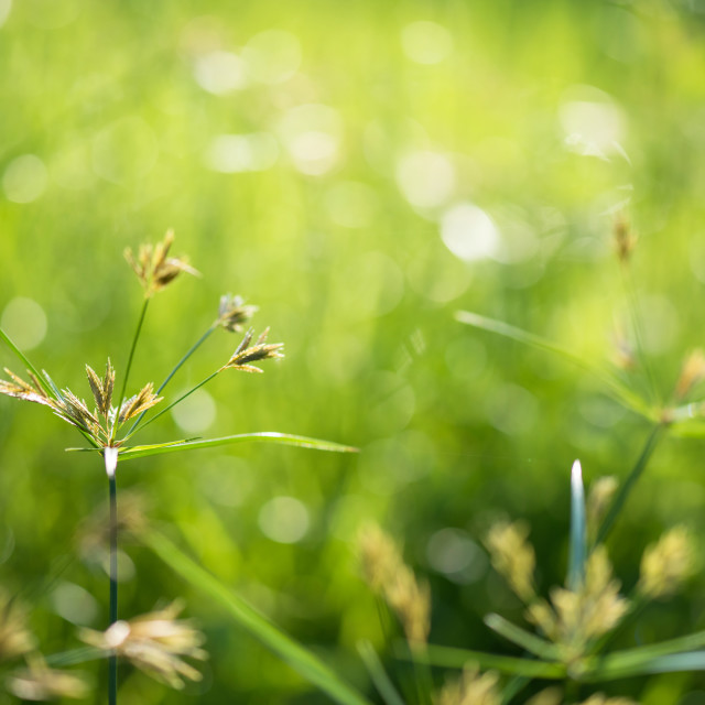 """Grass flower in meadow with green bokeh"" stock image"