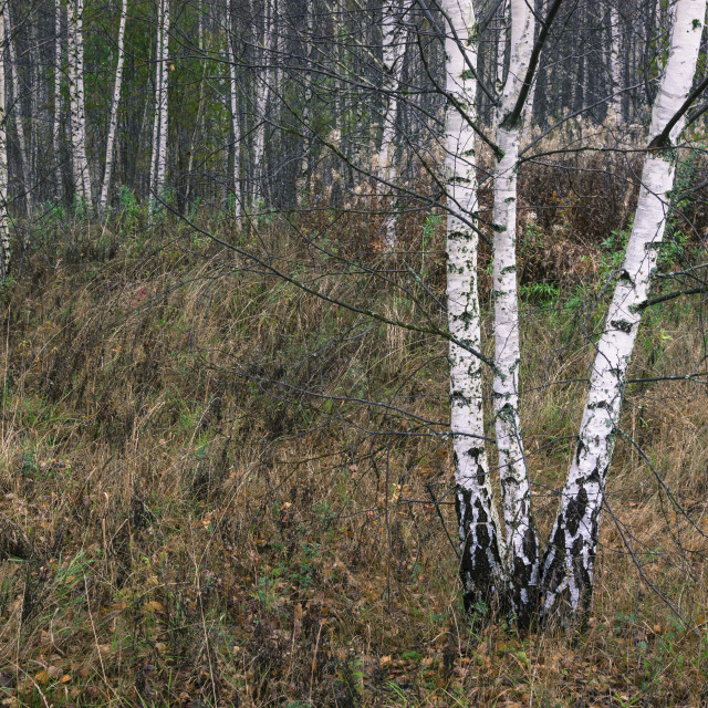 """""""Slender white birch trunks in the autumn forest, Russia."""" stock image"""