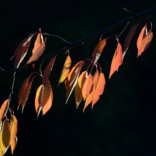 """""""Red Leaves in Autumn"""" stock image"""