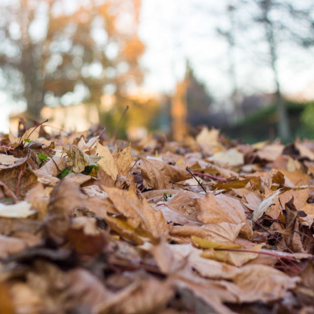 """""""autumn leaves at sunset"""" stock image"""