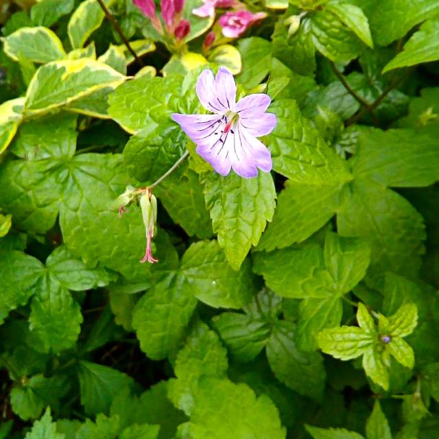 """""""Wild geranium"""" stock image"""
