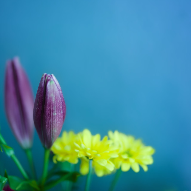"""""""Bouquet of Lilies and Daisies in Front of a Blue Background"""" stock image"""