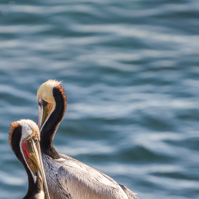 """Two Brown Pelicans standing at the coast"" stock image"