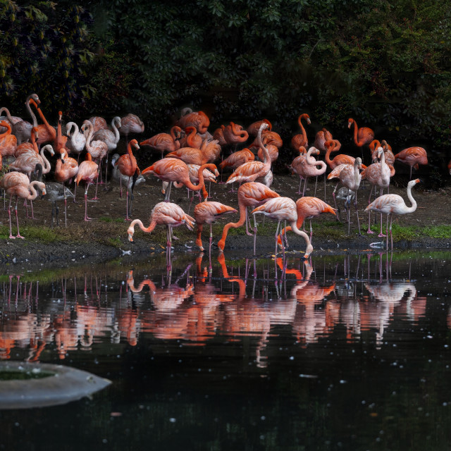"""Flamingo reflections"" stock image"