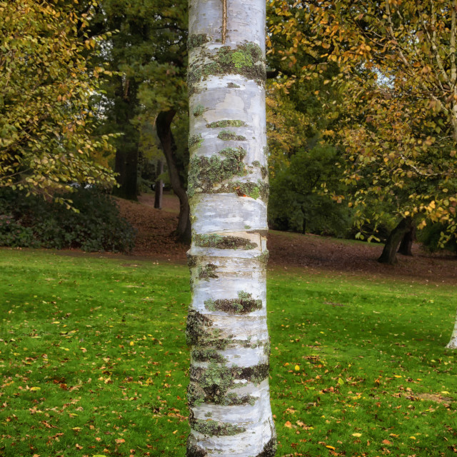 """Silver birch trees in Clyne Gardens"" stock image"