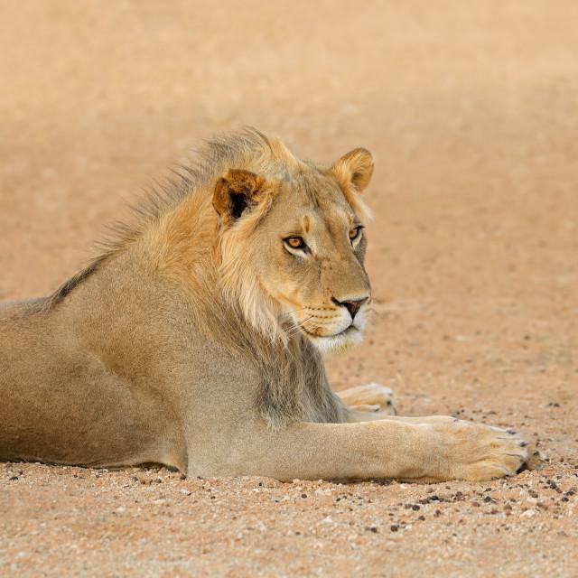 """African lion - Kalahari desert"" stock image"