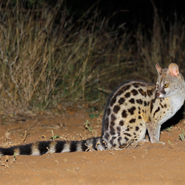 """Large-spotted genet"" stock image"