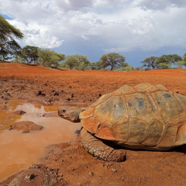 """Leopard tortoise at a waterhole"" stock image"