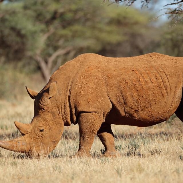 """A white rhinoceros in natural habitat"" stock image"