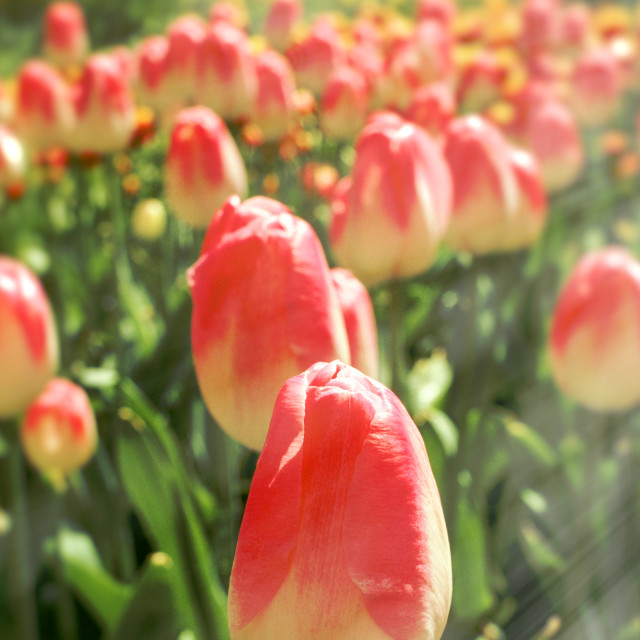 """Tulip Heaven"" stock image"