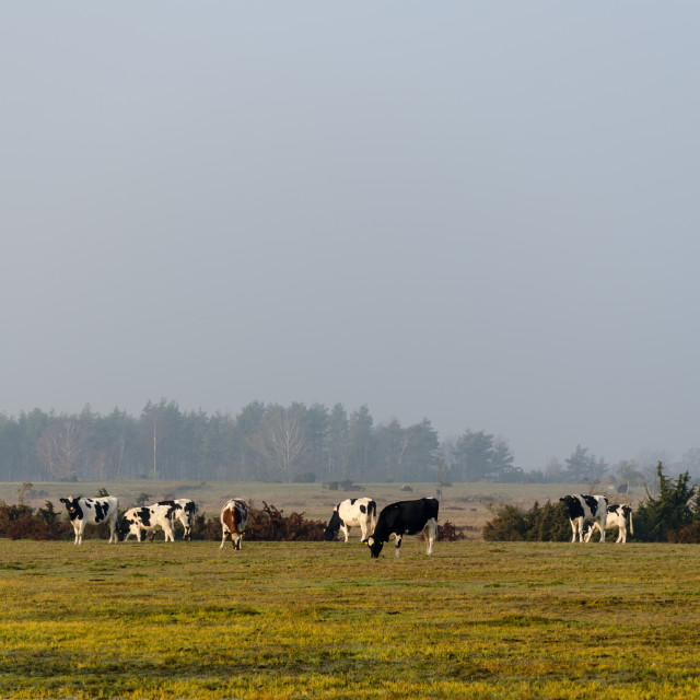 """Herd of grazing cattle by fall season"" stock image"