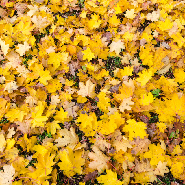 """Yellow maple leaves background"" stock image"