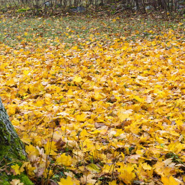 """Fallen maple leaves covers the ground"" stock image"