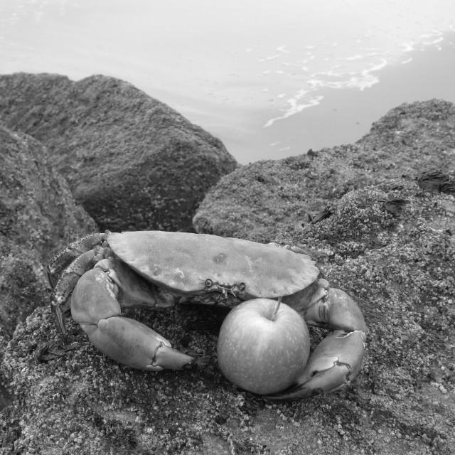 """Crab apple"" stock image"