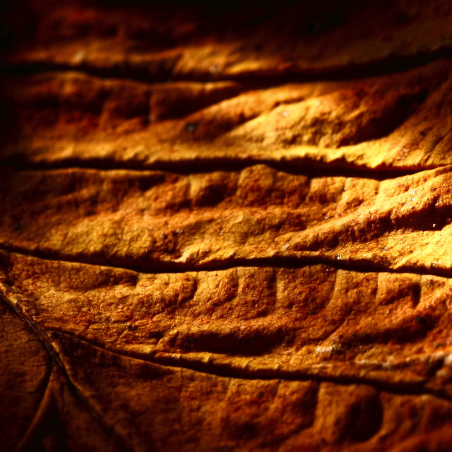 """""""Macro view of an autumn tree leaf"""" stock image"""