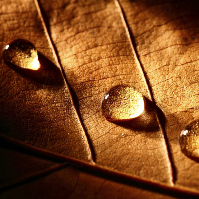 """""""Macro view of an autumn tree leaf with water drops using shadows to create drama"""" stock image"""