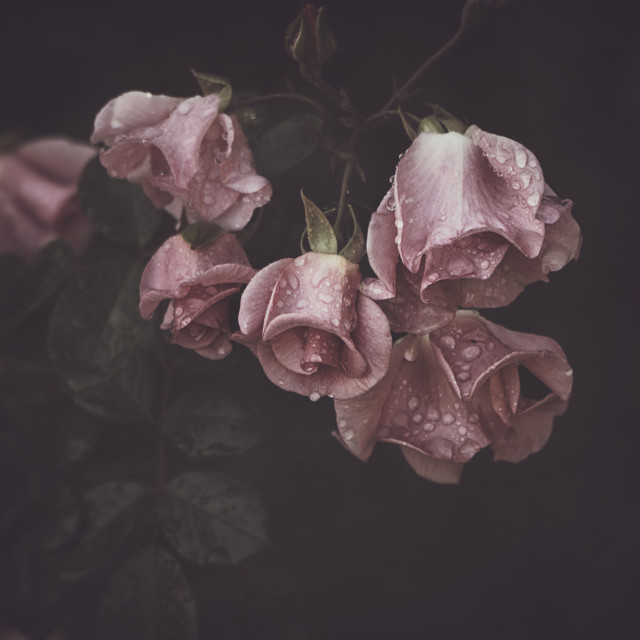 """Moody Pink Roses with drops"" stock image"