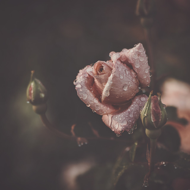 """Rose with drops"" stock image"
