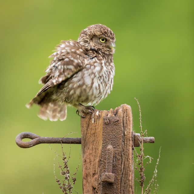 """Puffed Up Little Owl"" stock image"