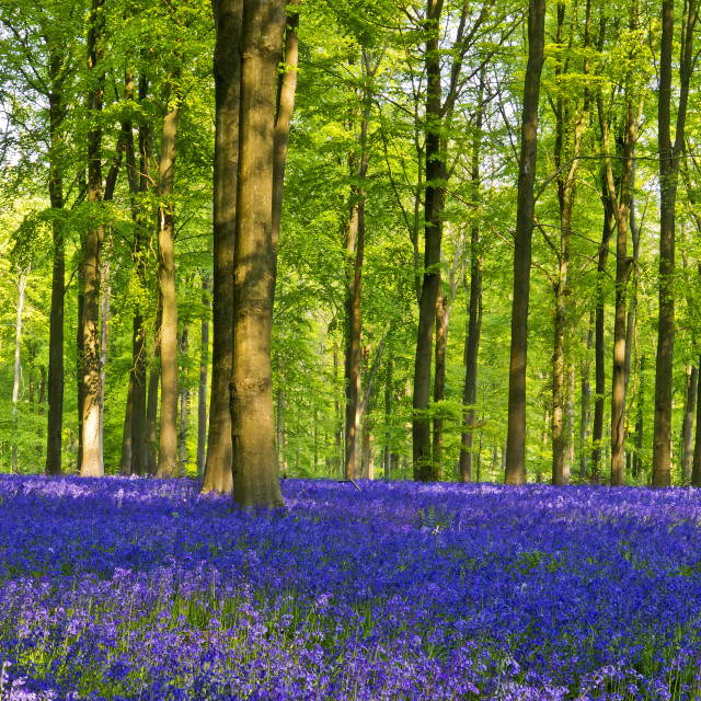 """""""Bluebells,Trees and Light"""" stock image"""
