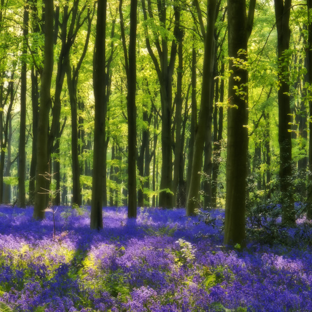 """""""Bluebells in Soft Focus"""" stock image"""