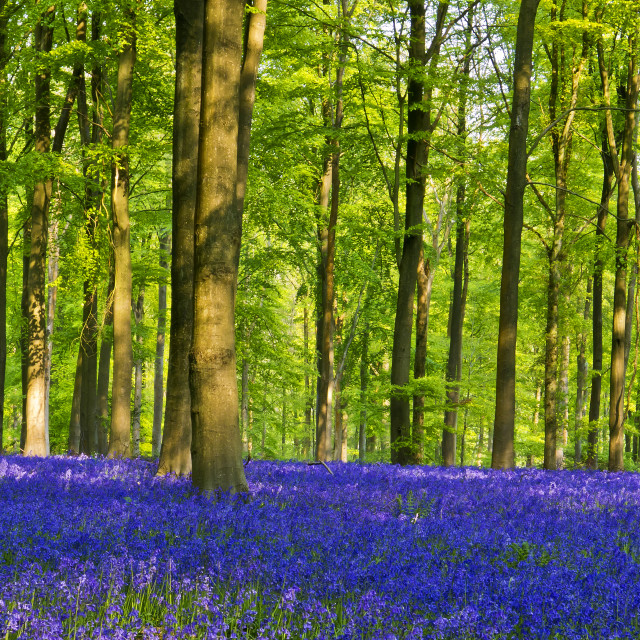 """""""Bluebells,Trees and Light 2"""" stock image"""