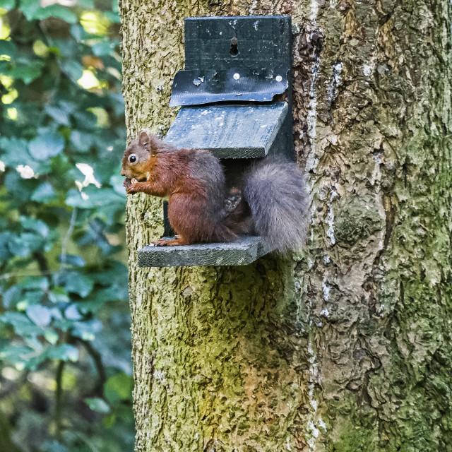 """""""Red squirrel, Sciurus vulgaris, at bird feeder."""" stock image"""
