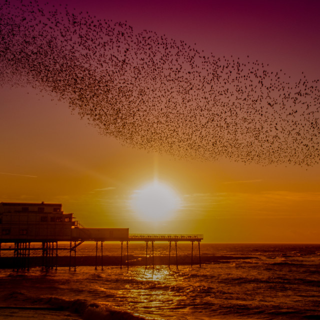 """A murmuration of Starlings on the West Coast of Wales in a small seaside town of Aberystwyth, Ceredigion."" stock image"