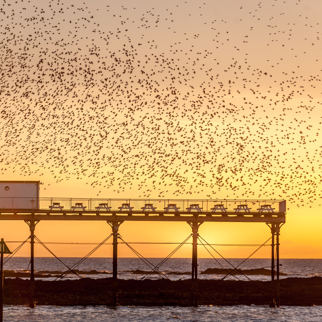 """""""A murmuration of Starlings on the West Coast of Wales."""" stock image"""