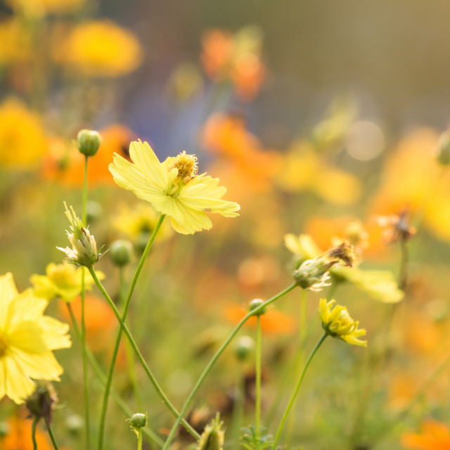 """yellow cosmos flowers against sunrise light"" stock image"