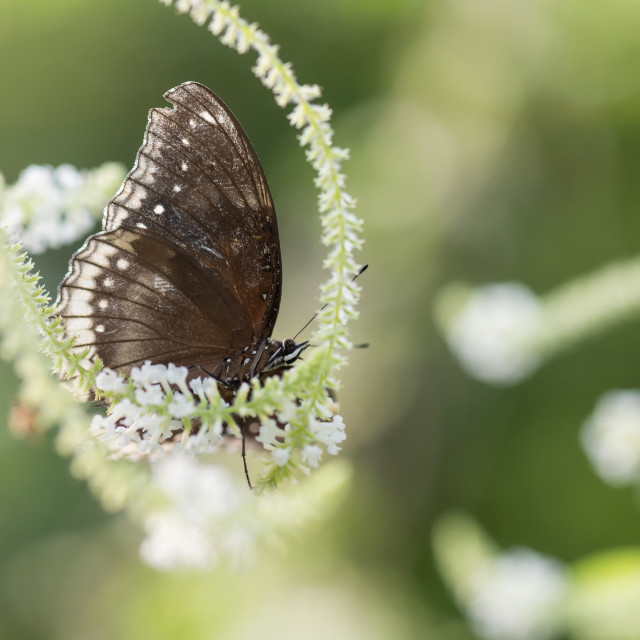 """Black Eggfly butterfly on flower"" stock image"