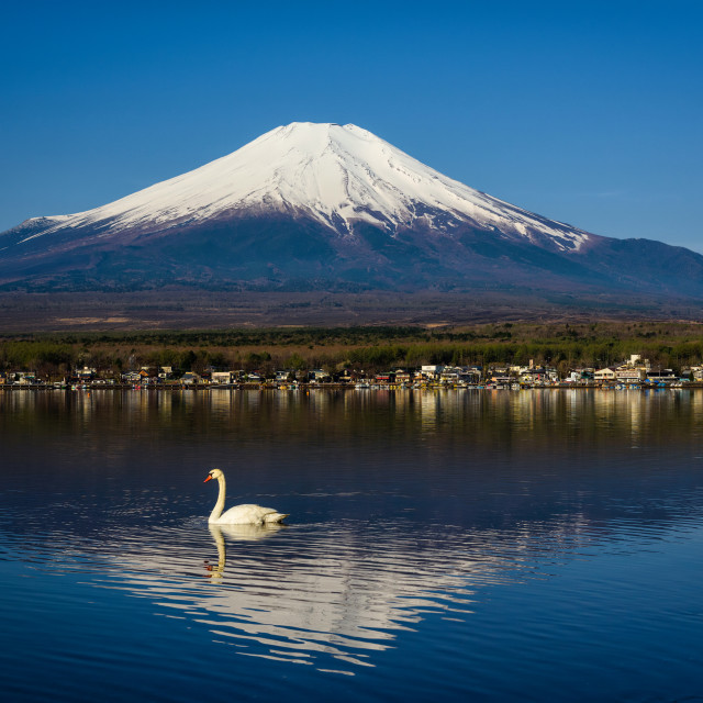 """Swan swimming at Yamanaka lake near Fujisan"" stock image"