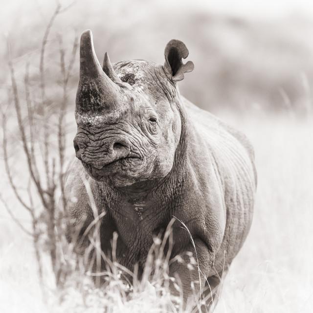 """Black rhinoceros"" stock image"