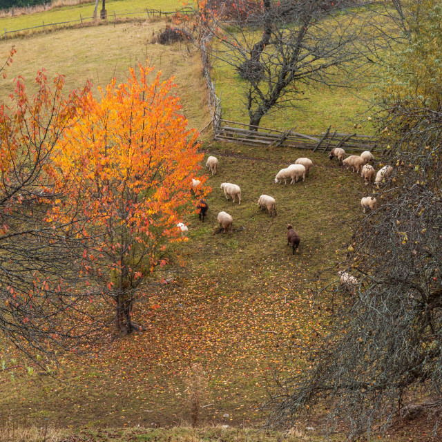 """""""Flock of sheep in autumn nature."""" stock image"""