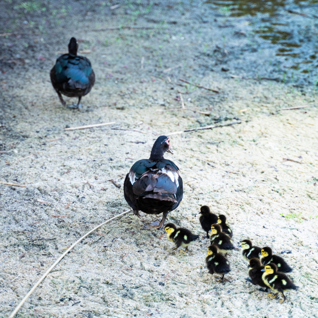 """A family of ducks!"" stock image"