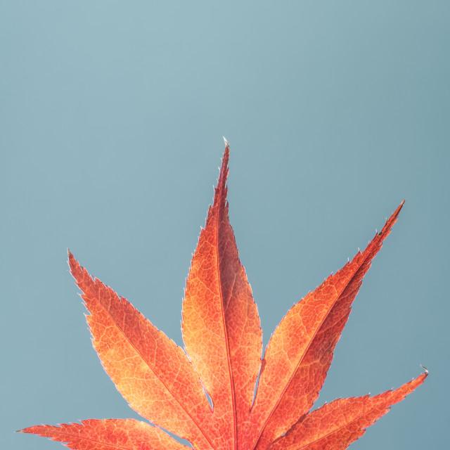 """""""Acer Palmatum Japanese Maple One"""" stock image"""
