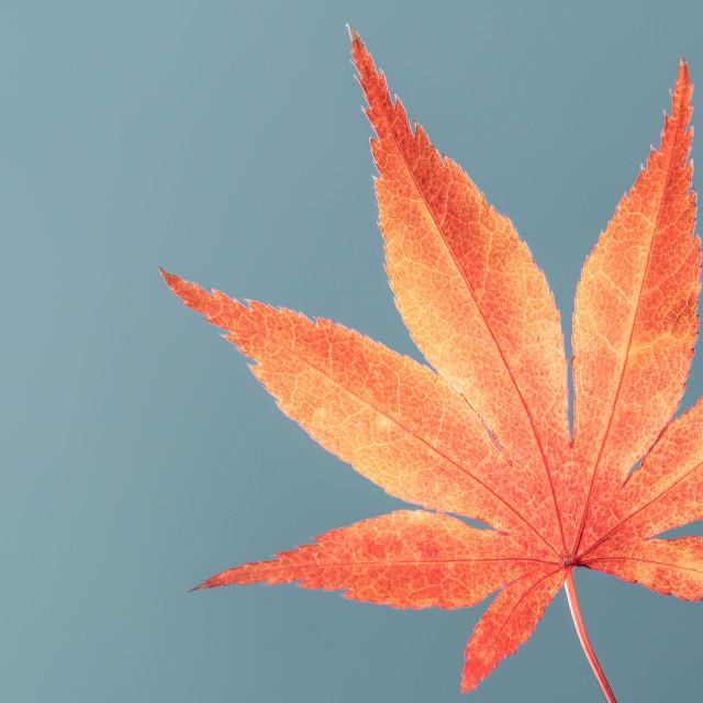 """""""Acer Palmatum Japanese Maple Two"""" stock image"""