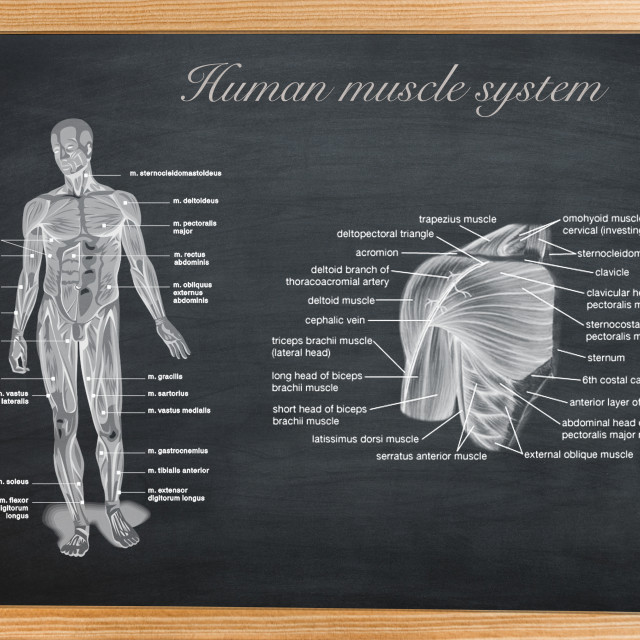 """""""didactic board of anatomy of human bony and muscular system"""" stock image"""