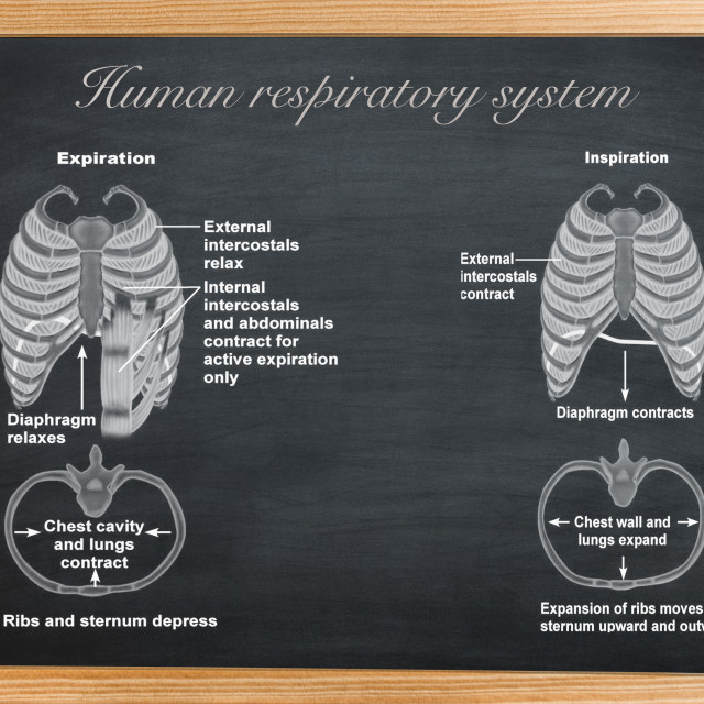 """""""didactic board of anatomy of Human respiratory system"""" stock image"""