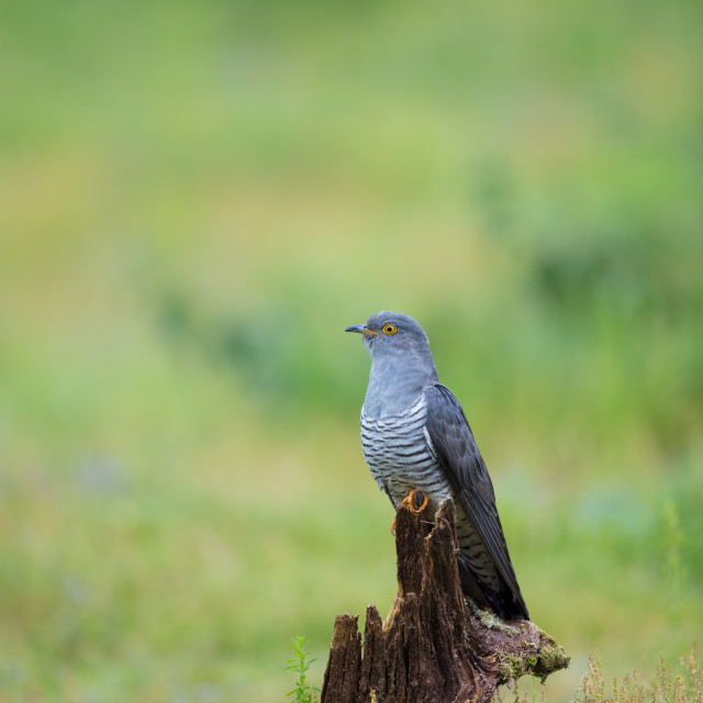 """Cuckoo on a Stump"" stock image"