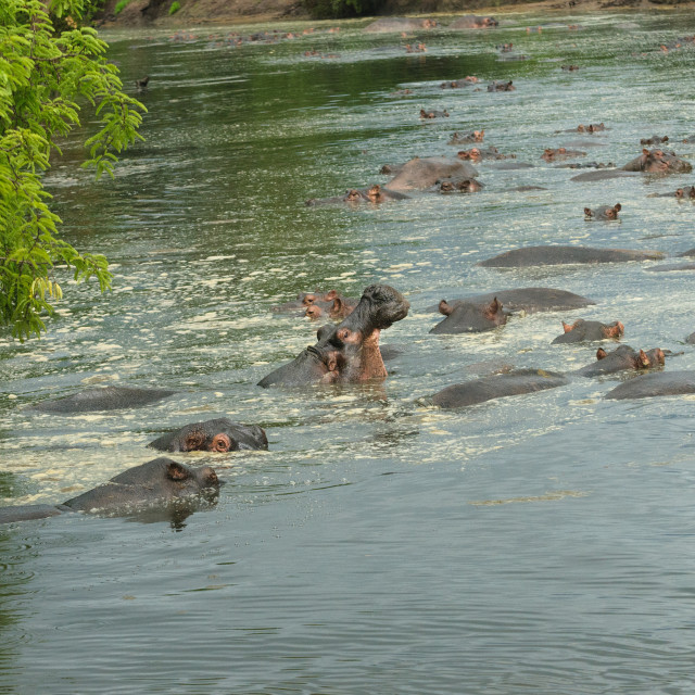 """Hippopotamus"" stock image"
