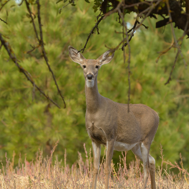"""Whitetail deer on farm land"" stock image"