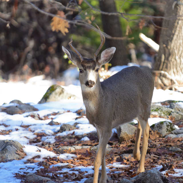 """Black-tailed deer in the winter"" stock image"